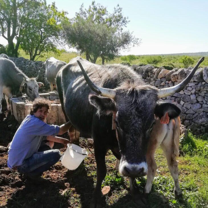 46 – Le mucche di Federico